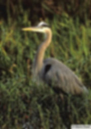 Photo of Great Blue Heron
