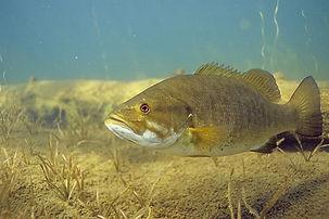 Photo of Smallmouth Bass