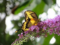 Photo of Giant Swallowtail Butterfly at Well Being Retreat Center