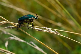 Photo of Irridescent Beetle on Grass at Well Being Retreat Center