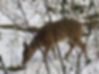 Deer Grazing at Well Being Retreat Center