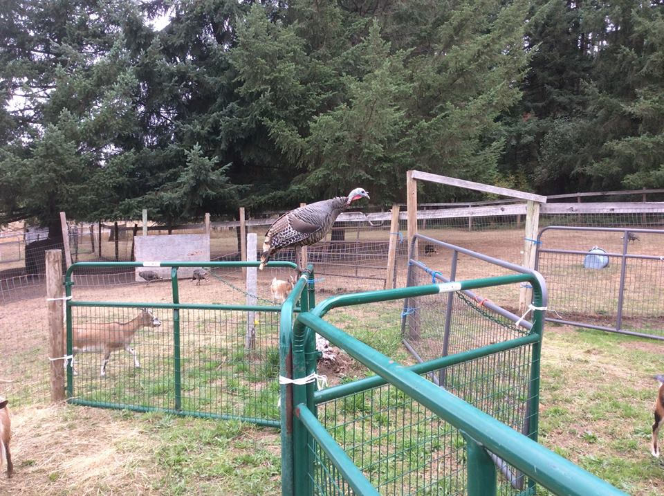 A morning visitor at the goat pens