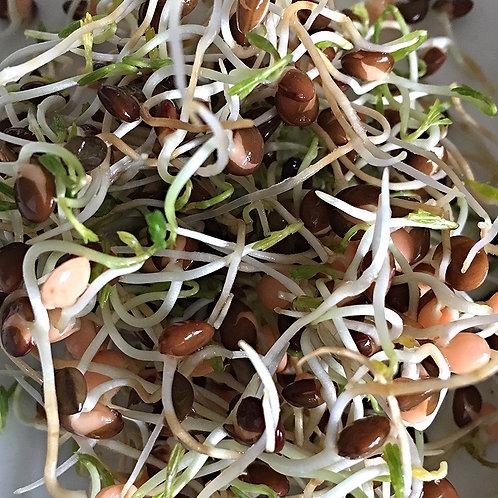 Sprout SEEDS-Black Lentils