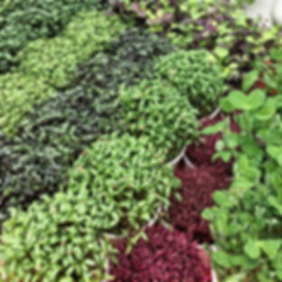 buy microgreens