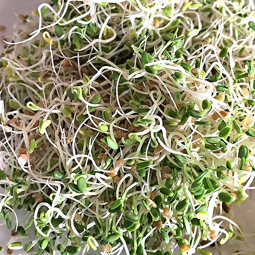 Sprouting SEEDS-Alfalfa