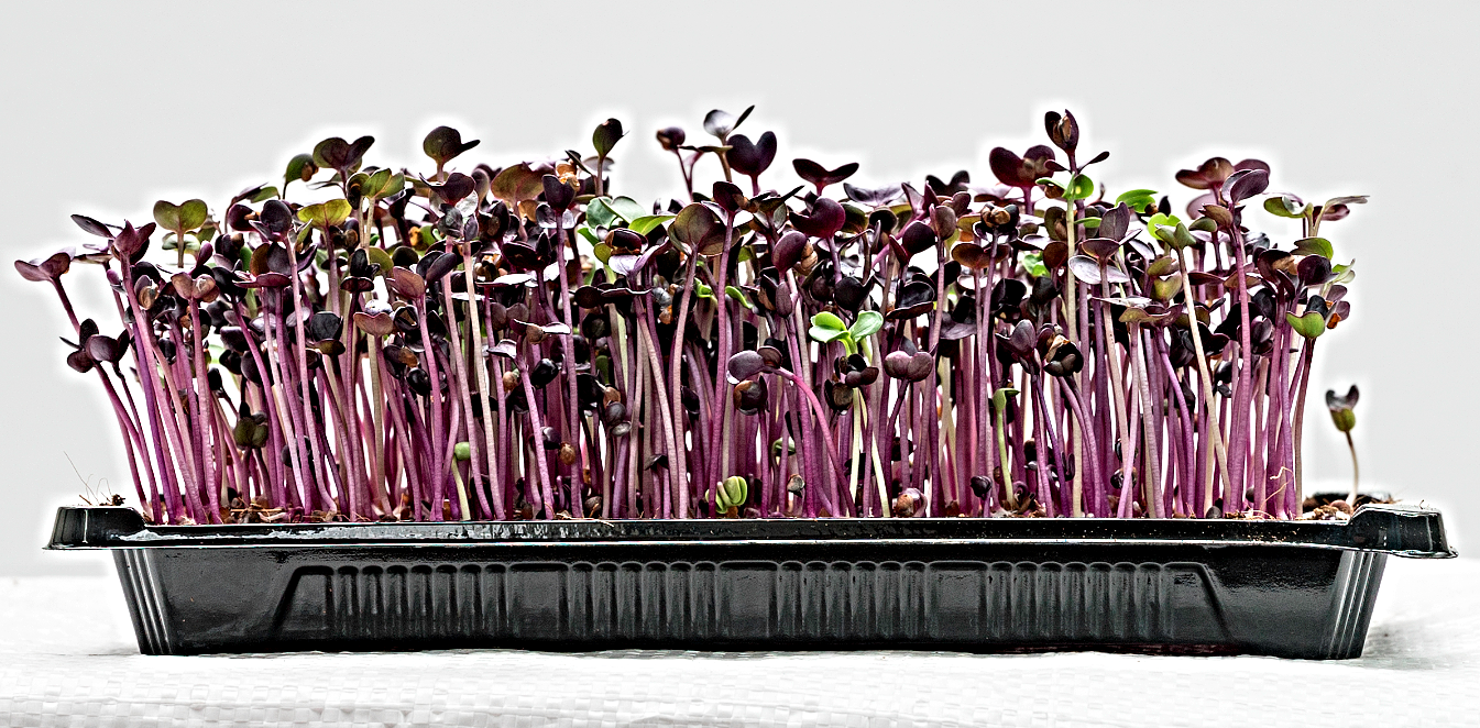 organic microgreens red radish