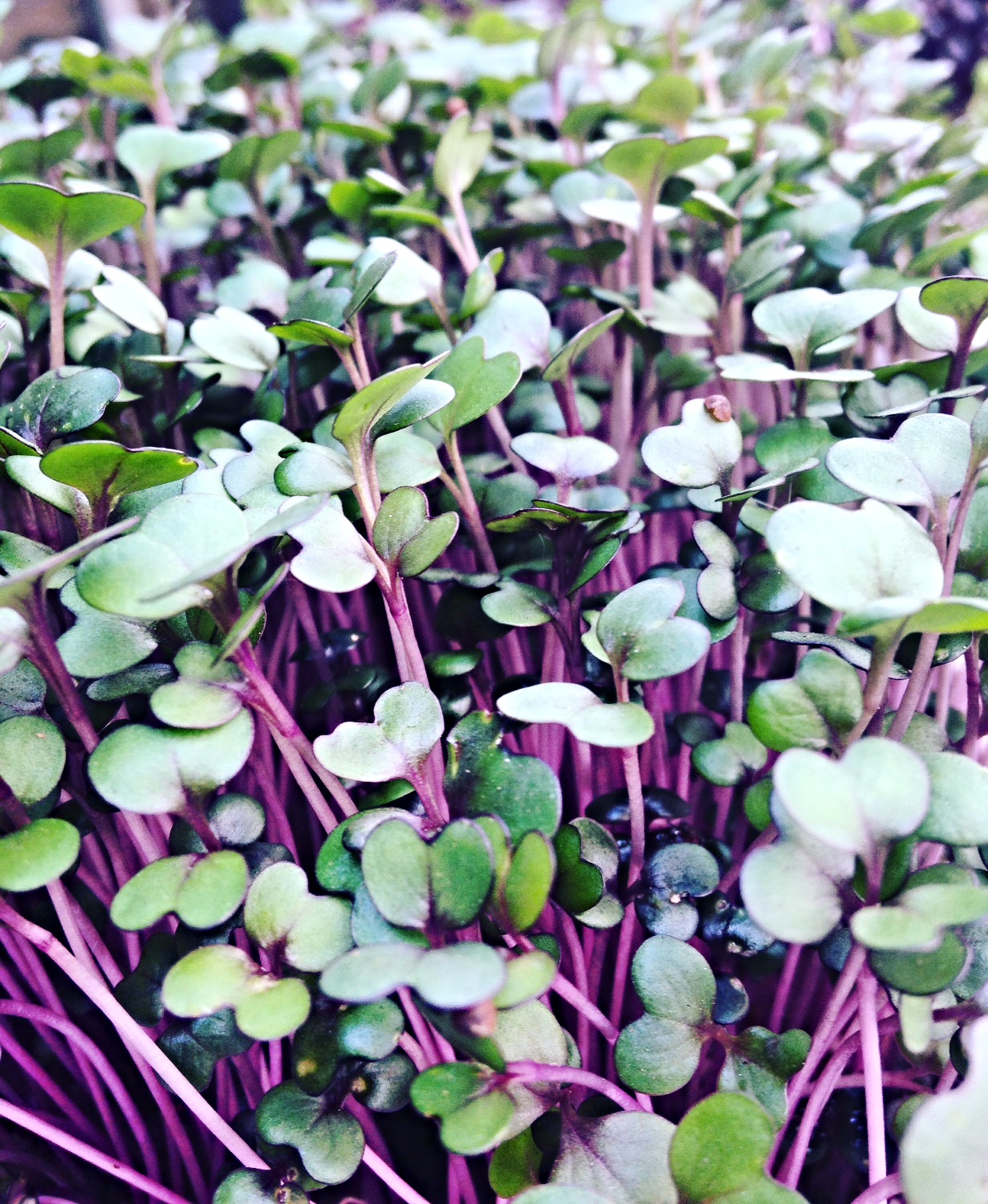 organic microgreens red cabbage