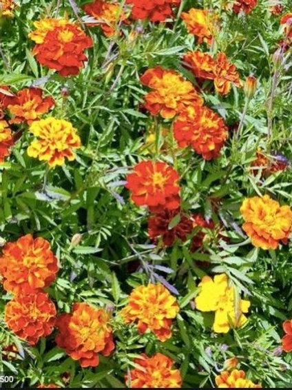SEEDS-Edible Flower Marigold 'French Sparky'