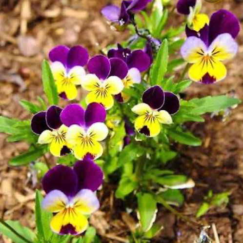 SEEDS-Edible Flower Viola 'Johnny Jump Up'