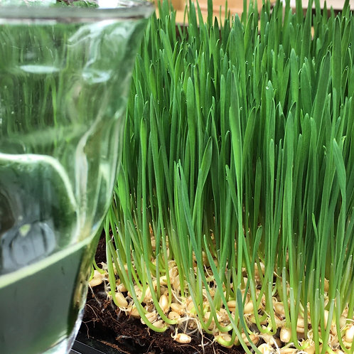 Microgreen SEEDS - Wheatgrass