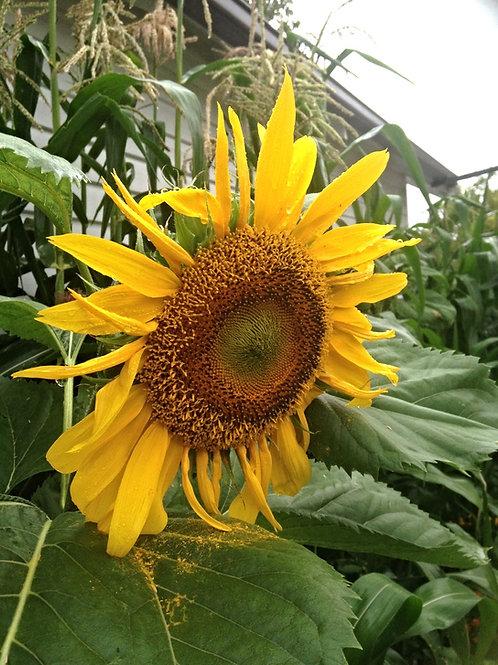 SEEDS-Edible Flower Giant Sunflower