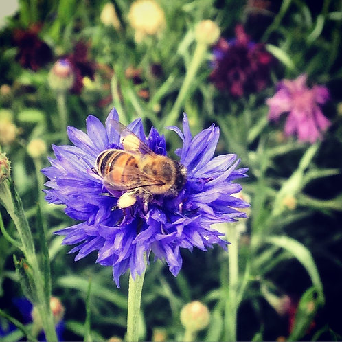 SEEDS-Edible Flower Cornflower 'Blue Boy'