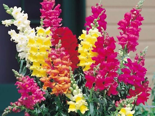 SEEDS-Edible Flower Snapdragon Mixed Colours