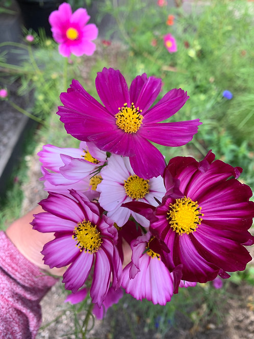 SEEDS- Cosmos 'Mixed Pinks'