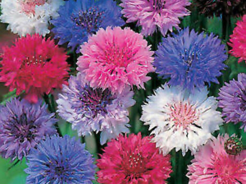 SEEDS-Edible Flower Cornflower 'Mixed Colours''