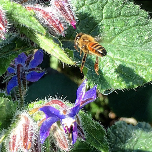 SEEDS-Edible Flower Borage
