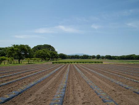 サツマイモ栽培はじめました🍠