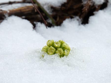 「もうすぐやってくる春の使者」〜今年も東北牧場からふきのとうをお届けします〜