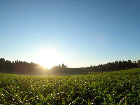 デントコーン畑の夜明け📺