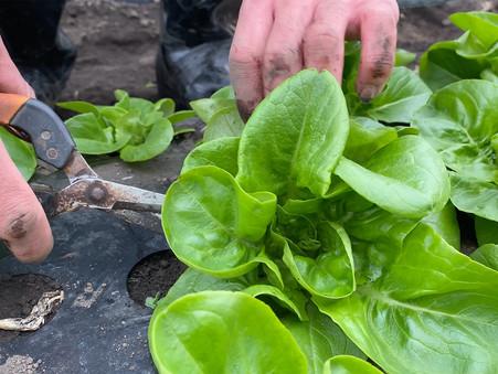 野菜の収穫作業