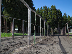キウイフルーツの苗木を植えました🥝