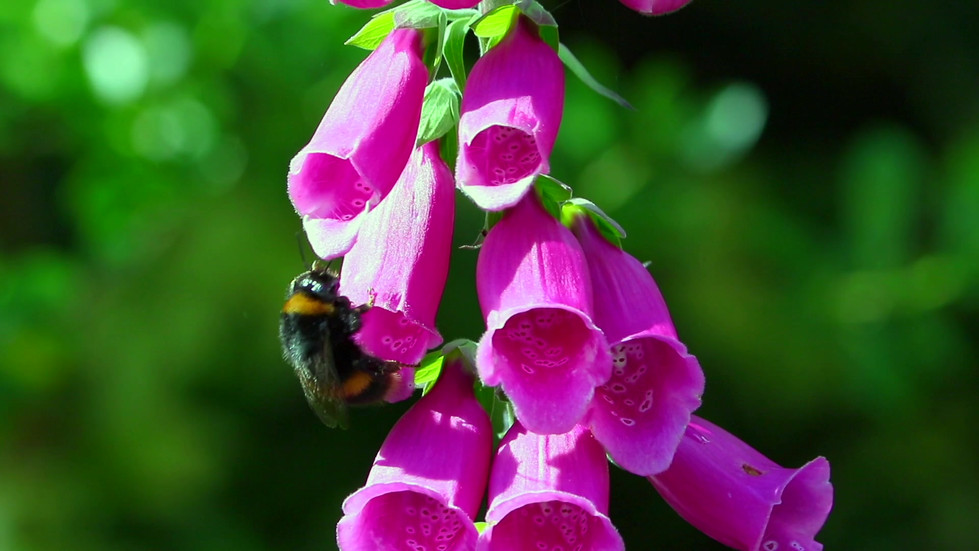 Bee in foxglove4 Wm-new.mp4