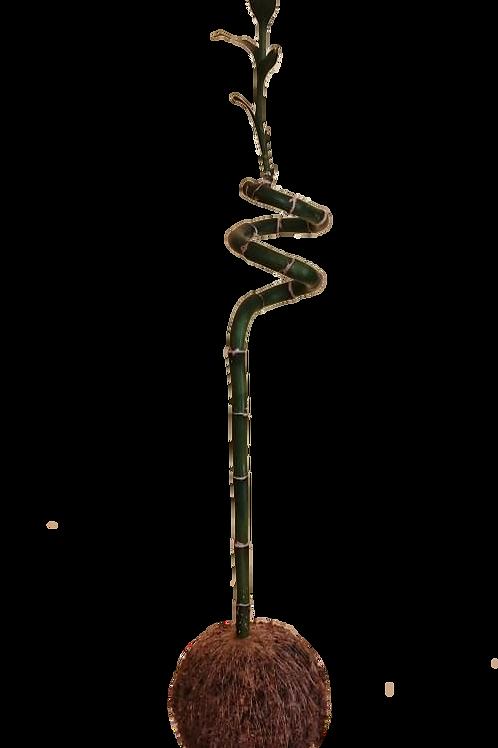 Kokedama Lucky Bamboo
