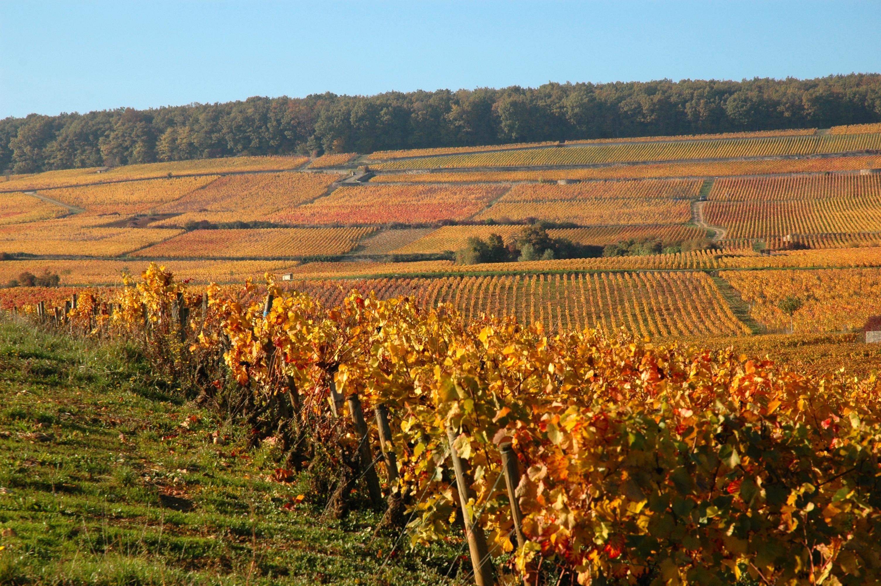 Vignes de Corton proches des Chambres Buissonnieres Ladoix Serrigny route des grands crus (2)