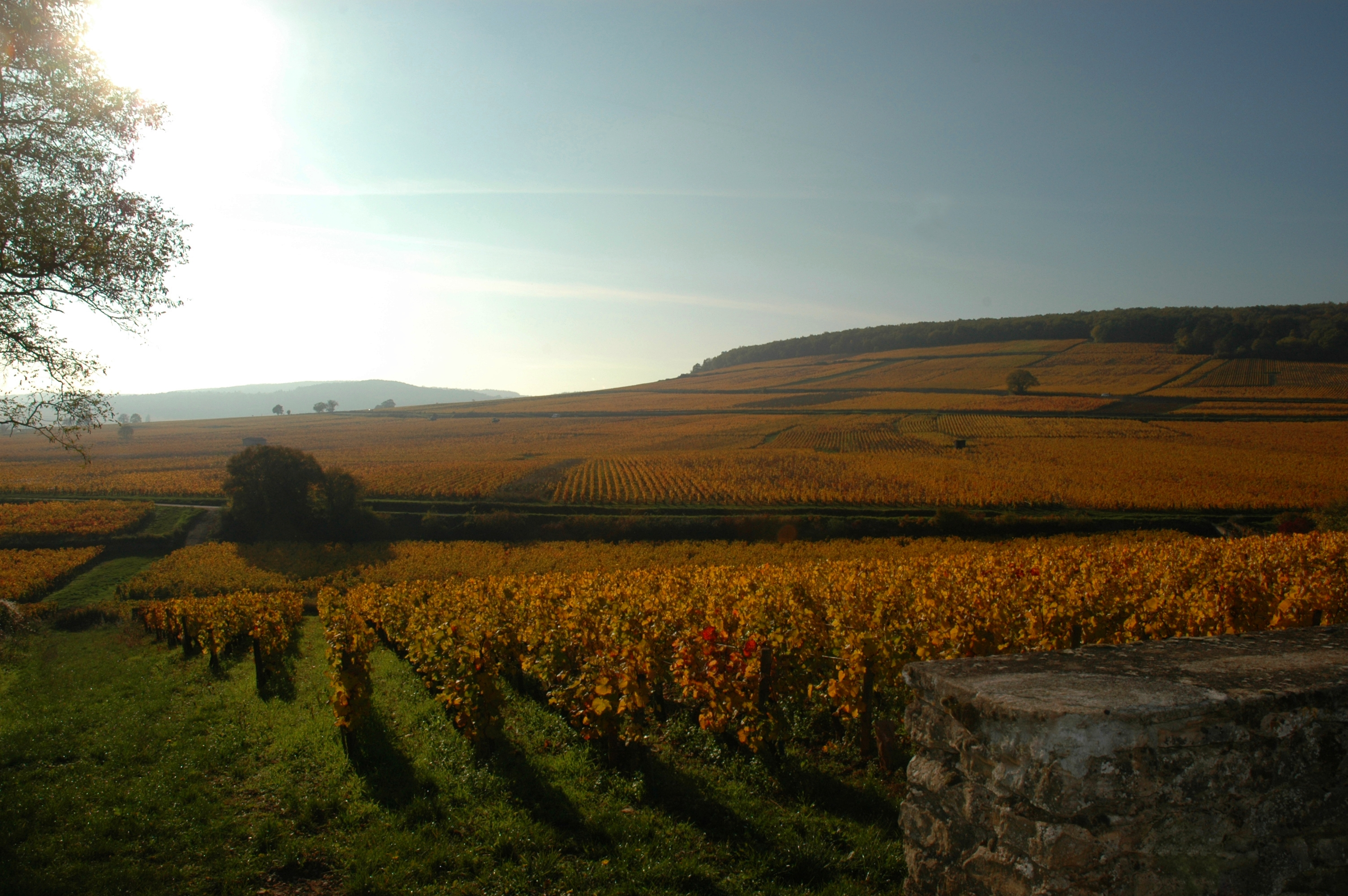 Vignes de Corton proches des Chambres Buissonnieres Ladoix Serrigny route des grands crus (5)