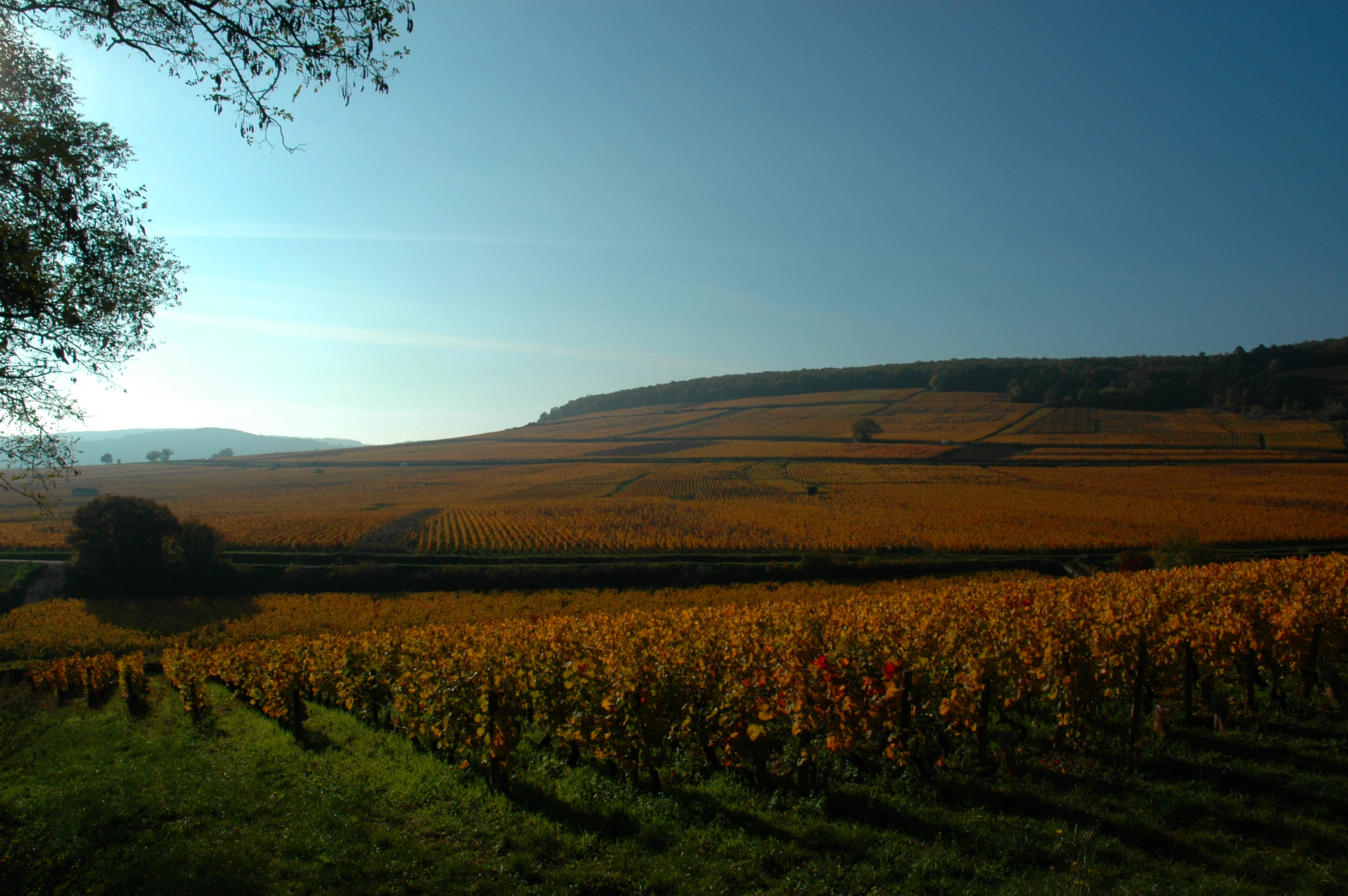 Vignes de Corton proches des Chambres Buissonnieres Ladoix Serrigny route des grands crus (6)