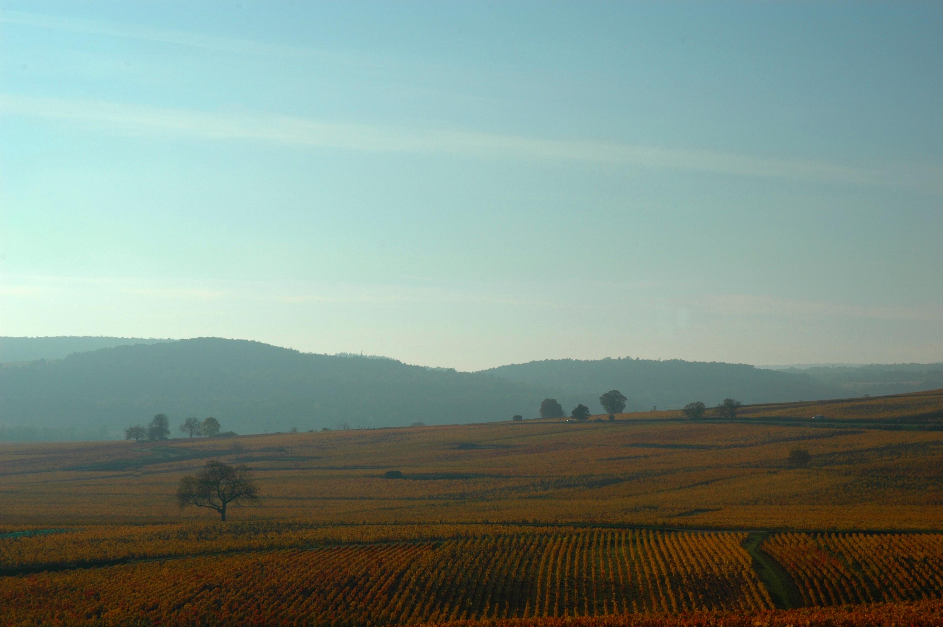 Vignes de Corton proches des Chambres Buissonnieres Ladoix Serrigny route des grands crus (4)