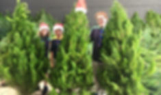 Real_Christmas_Trees_2.jpg