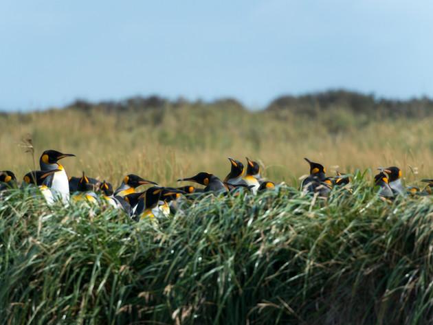 King Penguin Park