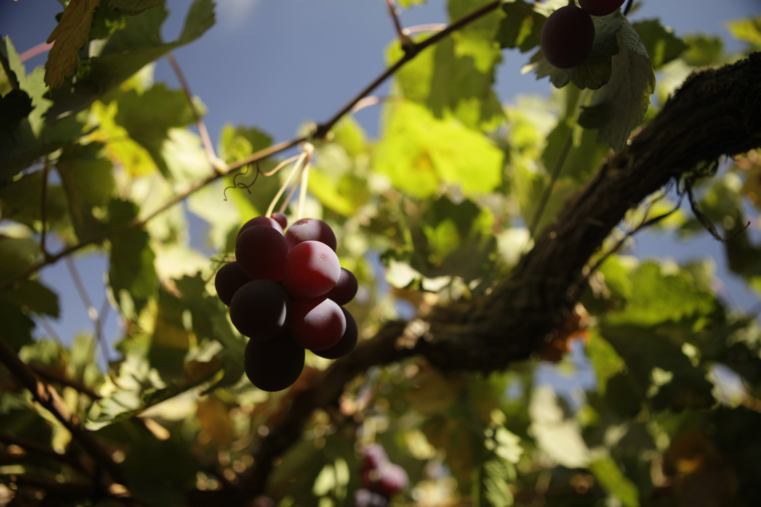 Grapes for pisco at Elqui Valley