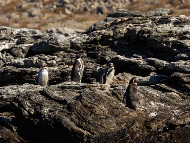 The Humboldt Penguis National Reserve