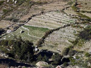 Oregano terrace fields below Socorom