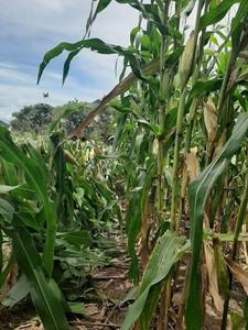 Don Juan's cornfield Aug 2020