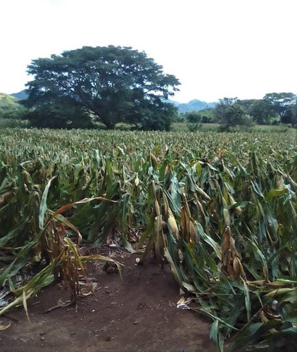 bending Chepe's corn Aug2020