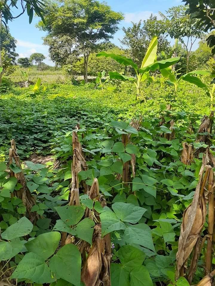 Victor's bean crop in San Diego Oct 2020