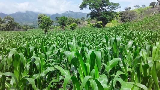 Chepe Ruiz's cornfield in Monte el Padre