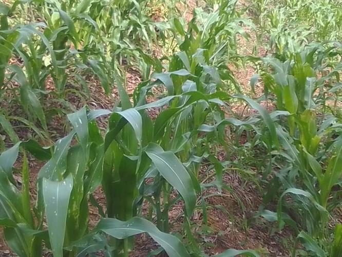 Chepito's cornfield, Monte el Padre June 2020-1.jpg