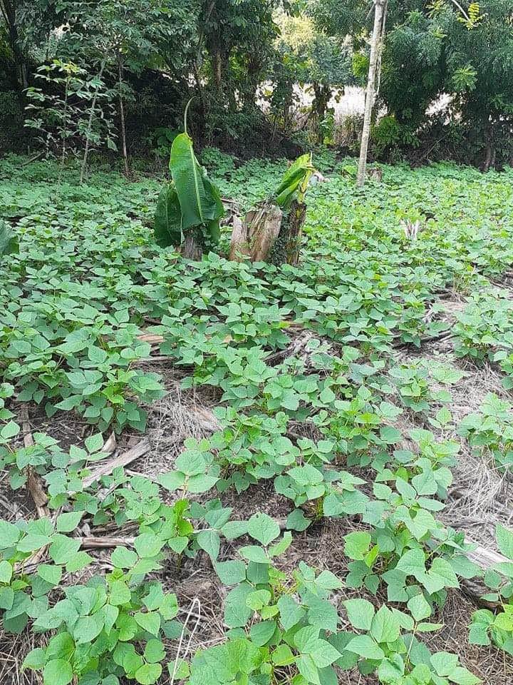 San Diego bean crop Sept 2020