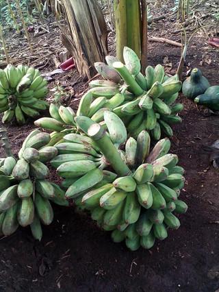 Bananas Oct Nov 2020