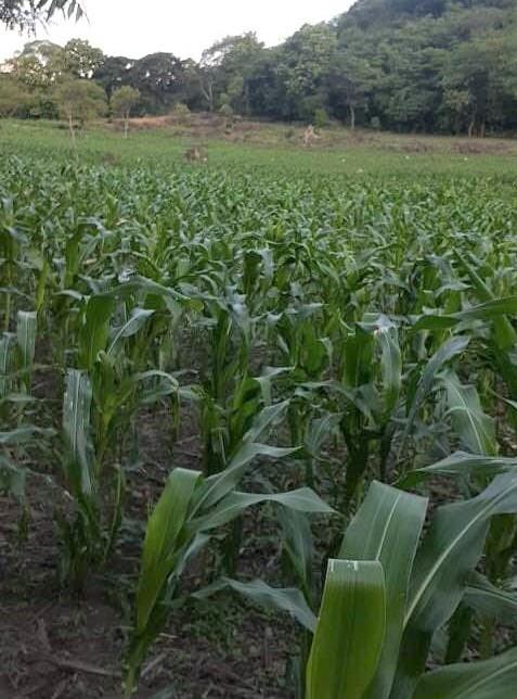 Don Victor's cornfield June 2020