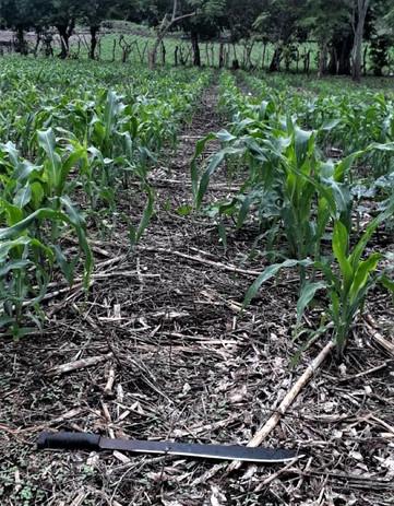 Sonia's cornfield in San Diego June 2020