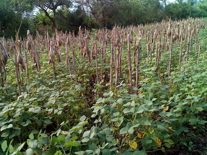 Bean field in Atehuecía, Ahuachapan Oct 2020
