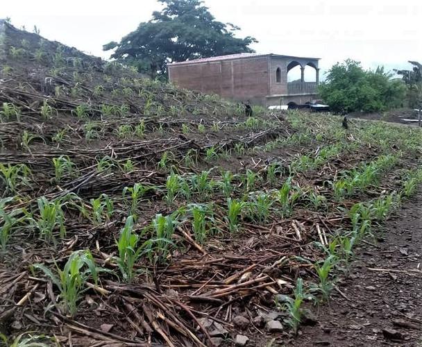 Armando's cornfield in Monte el Padre, M