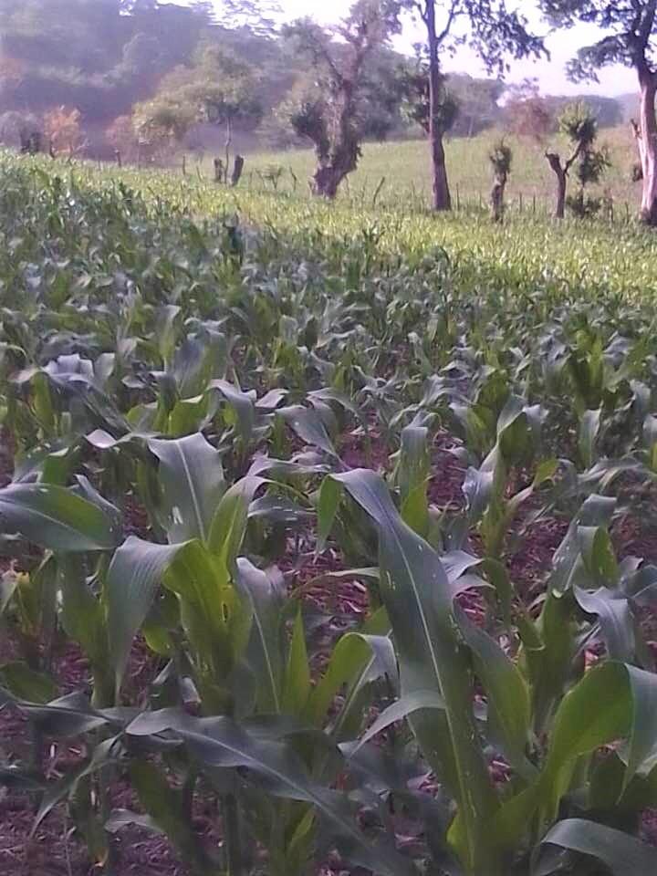 Chepito's cornfield, Monte el Padre June 2020