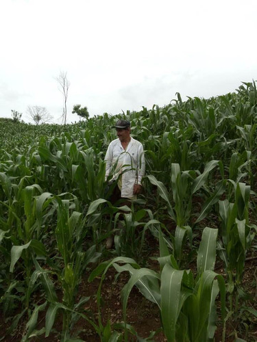 Manuel in his cornfield in Monte el Padr