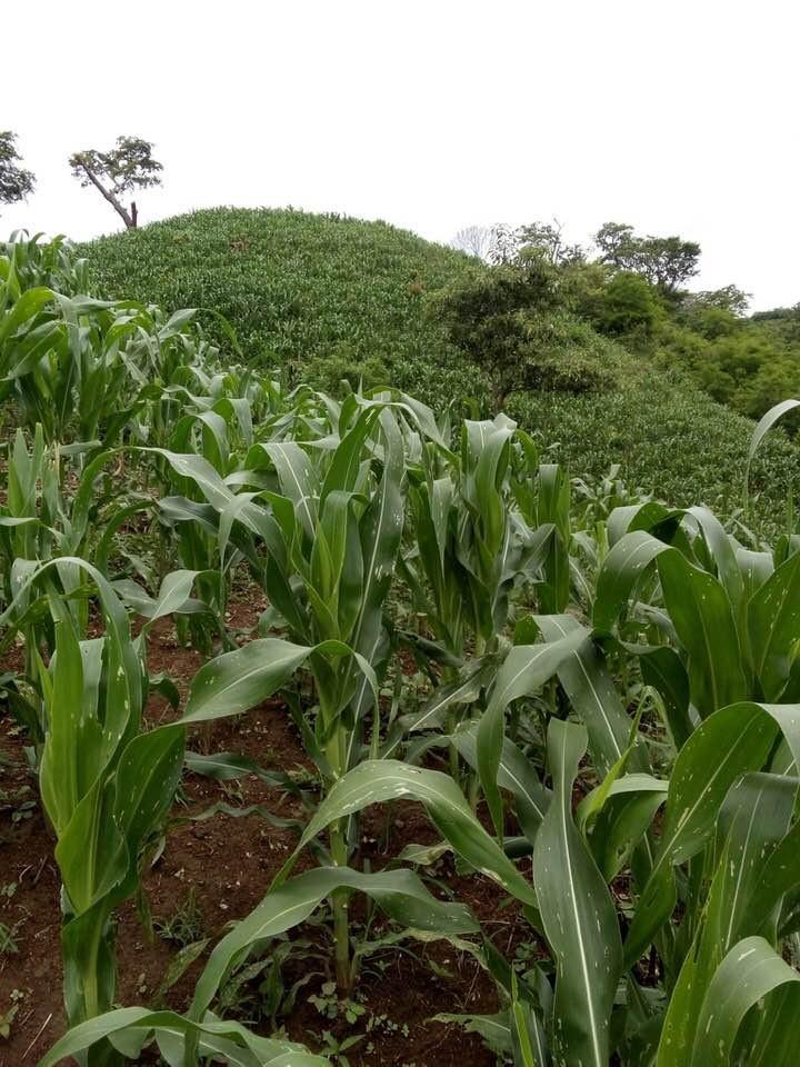 Manuel's cornfield in Monte el Padre Jul
